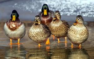 bird family, wild ducks