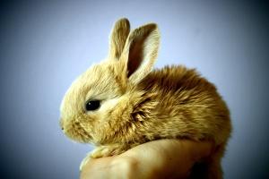niedlichen Kaninchen, braunes Häschen, Hand
