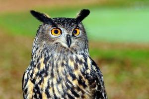 great owl, bird, animal