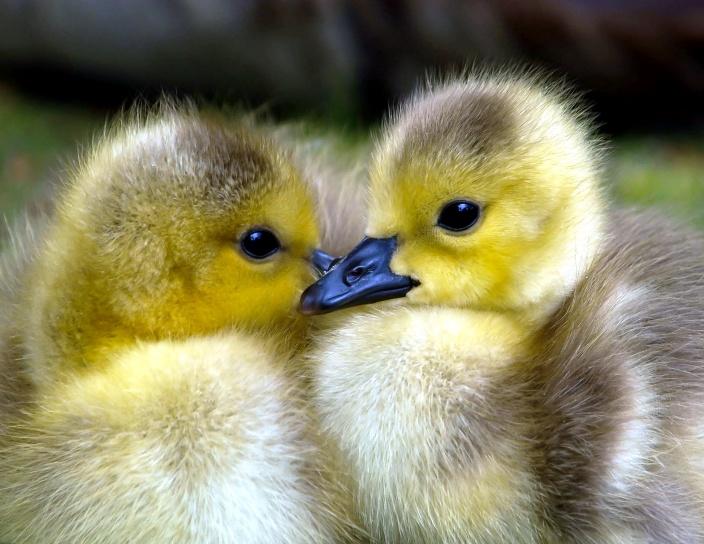 hatched goslings, Canadian goslings, goose