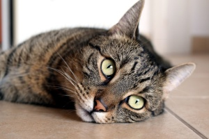 cute cat, kitten, animal, lying cat, portrait