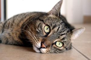 lindo gato, gatito, animal, gato tumbado, retrato