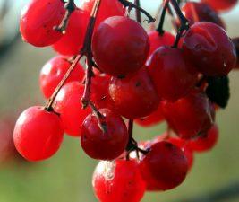 bayas rojas, fruta