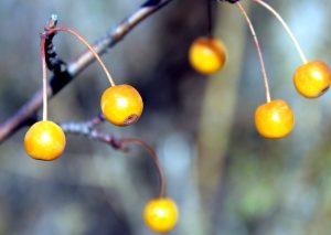 narancssárga bogyók, gyümölcsök, ág