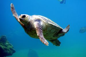 sea turtle, swimming, loggerhead