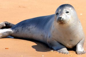 seal, beach, sand, animals