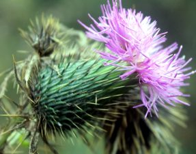 thistle flower, thorny purple flower, thorns