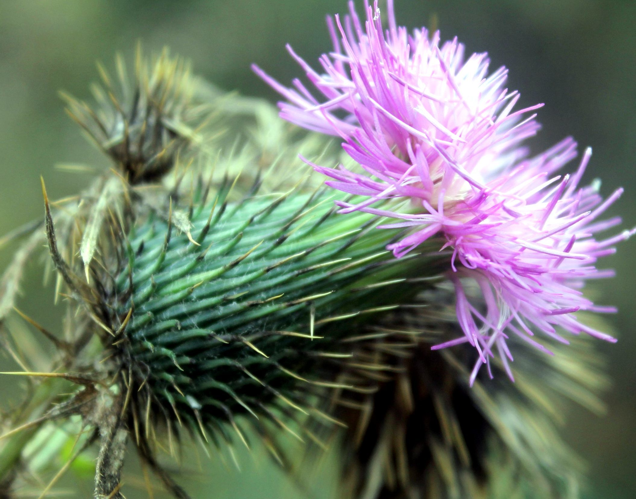 Free picture thistle flower thorny purple flower thorns thistle flower thorny purple flower thorns mightylinksfo
