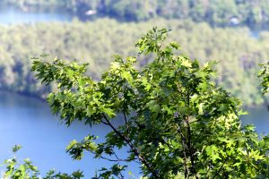 Blätter, Baum, grüne Blätter, Zweig, Natur, Landschaft, Laub