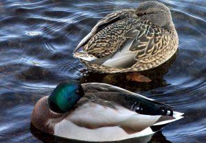 две зеленоглава патици, птици