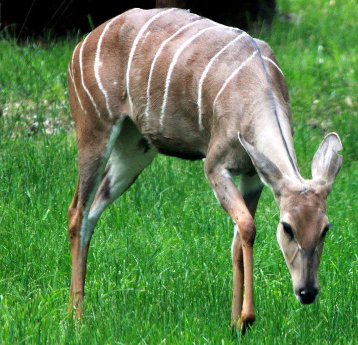 koudou antilope