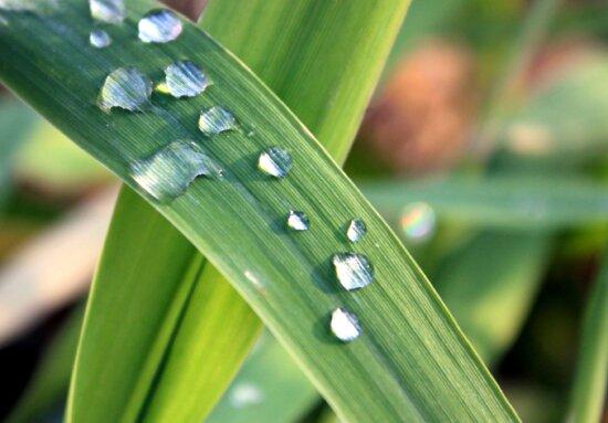 grass, morning, dew