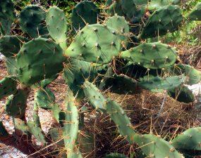 pistelevä päärynä kaktus