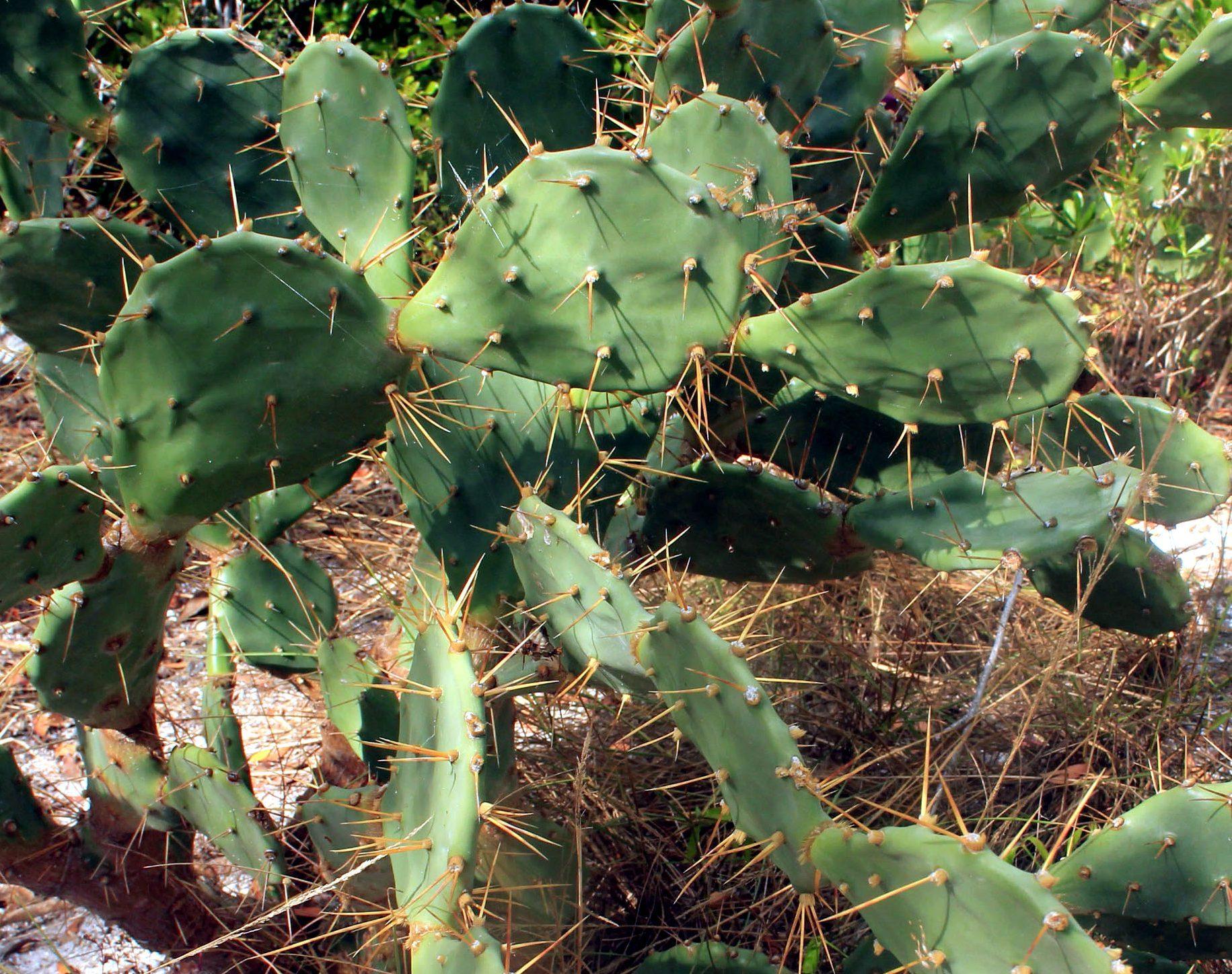Prickly Pear Cactus Pictures Public Domain