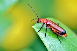 red beetle bug, leaf