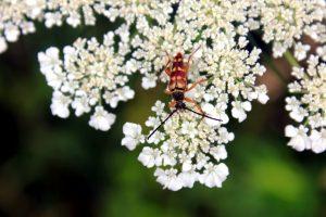 hmyz, bug, bílé květy