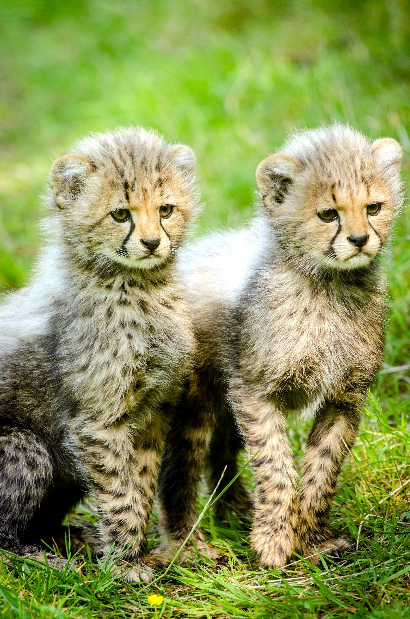 free picture  cheetah cubs  animals