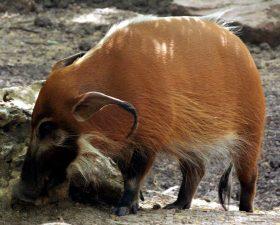 red hog, wild, pig