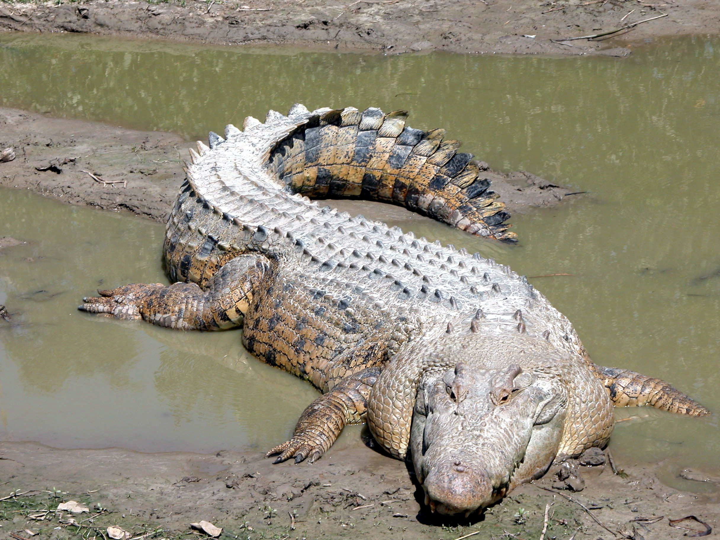 Free Picture Saltwater Crocodile