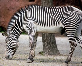 endangered zebra, animal