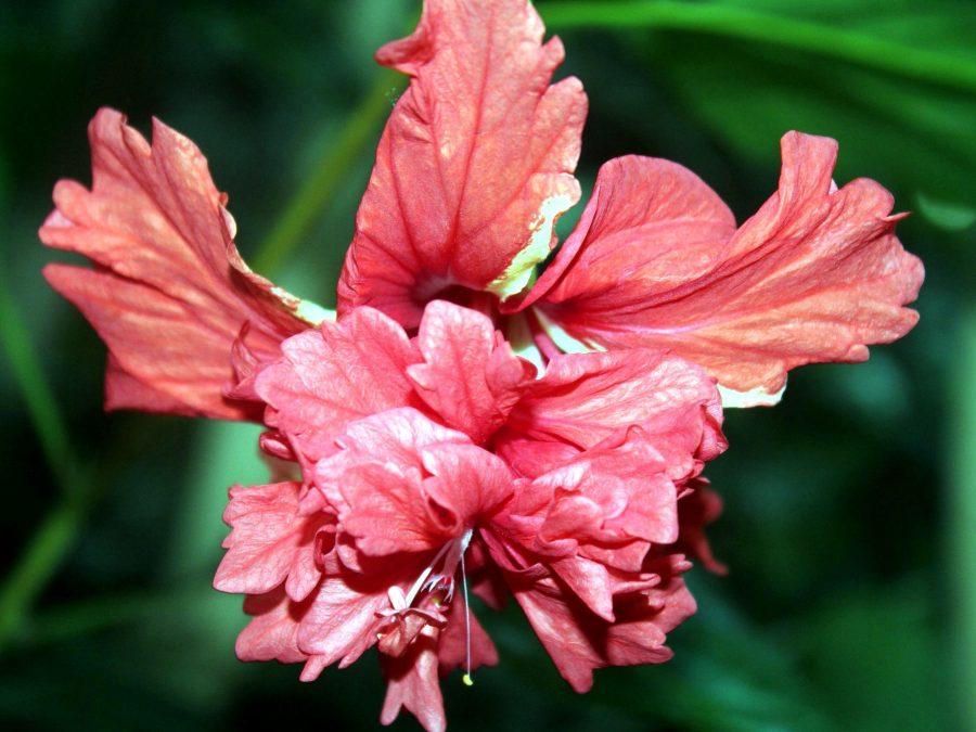 hibiscus, plante à fleurs rouges