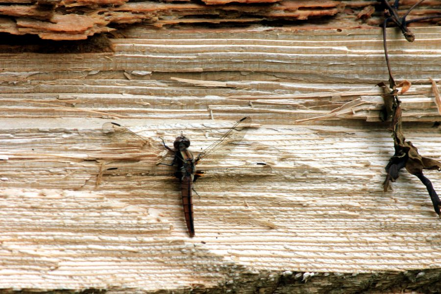 dragonfly, insect
