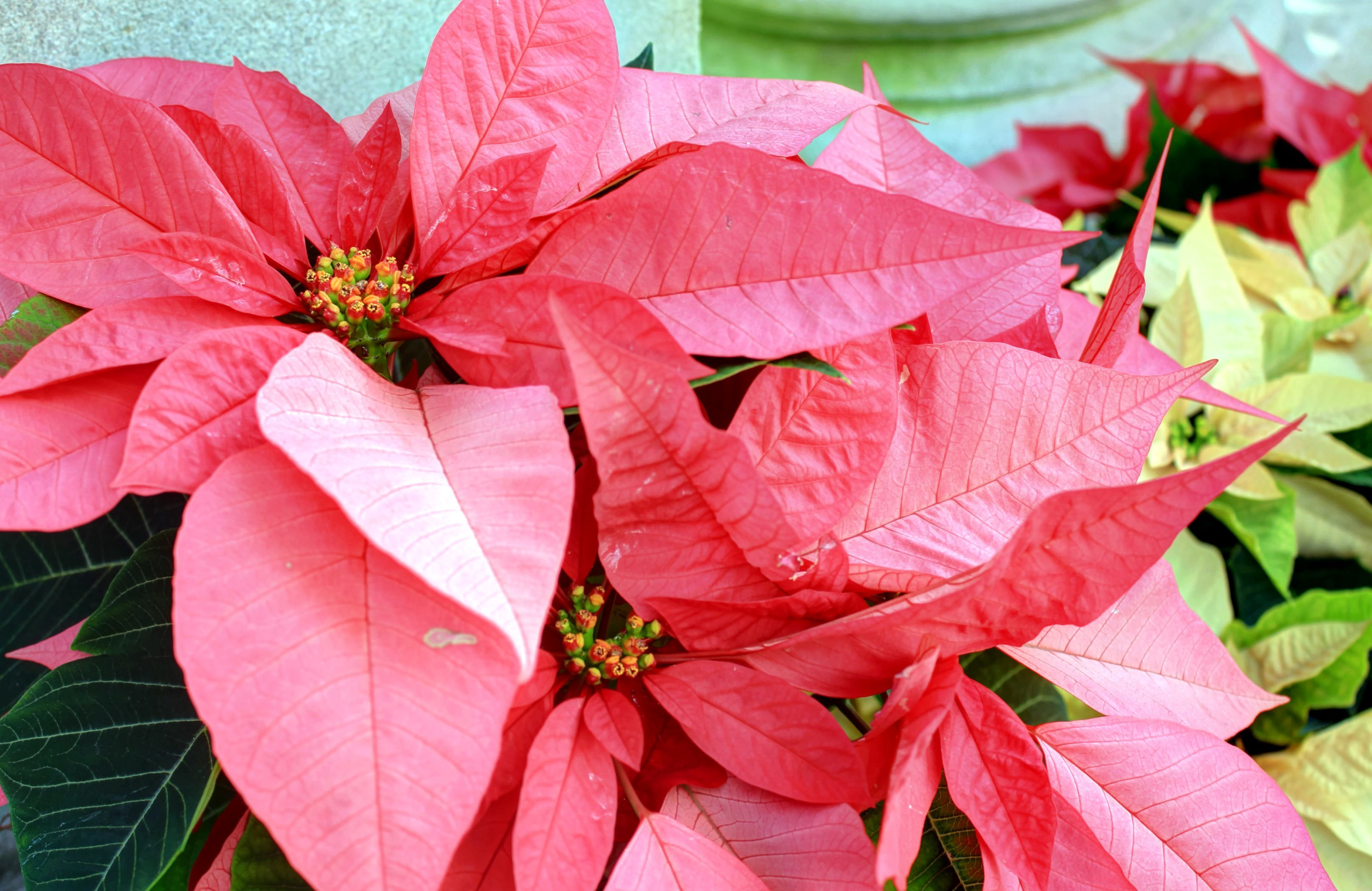Foto gratis: pianta poinsettia, grandi foglie rosse