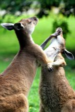 kangaroos fighting