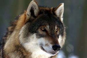 wild wolf, face