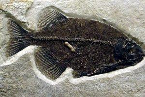 phareodus animali, fossili