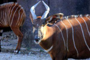 góry antylopy bongo, afrykańskich ssaków