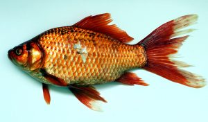 aranyhal, állati