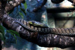 western green mamba, snake
