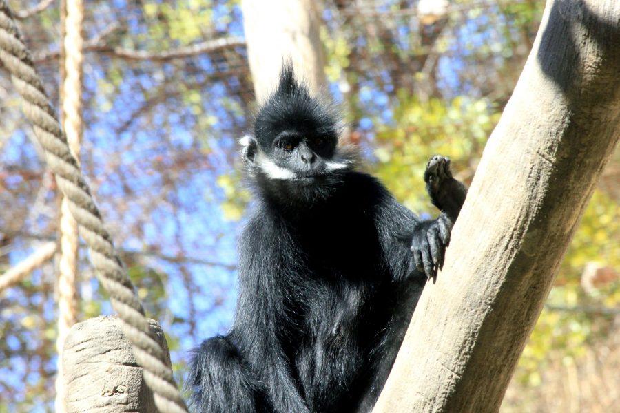Free picture francois langur monkey