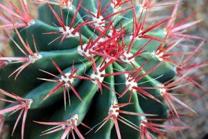 červený kaktus, barrel cactus