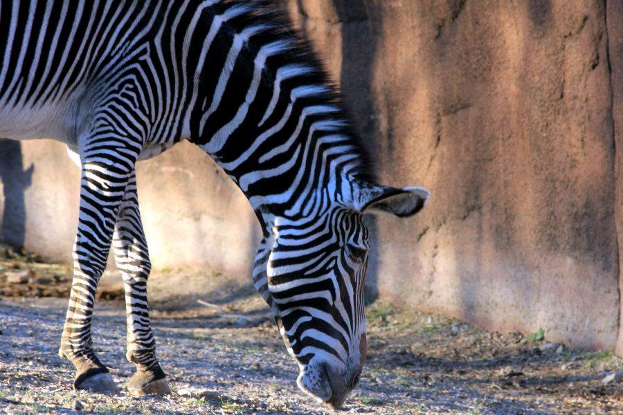 Carski zebra