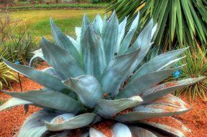 kitovi jezik Agava, biljka, kaktus