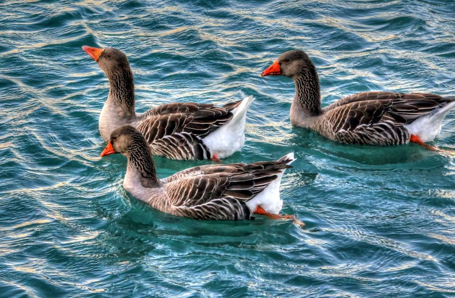 geese, swimming, water