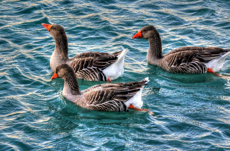 gansos, natación, agua