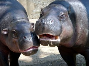 two hippo, animals
