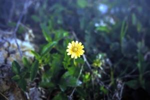 žuta latica, cvijet, cvijet, cvatnje