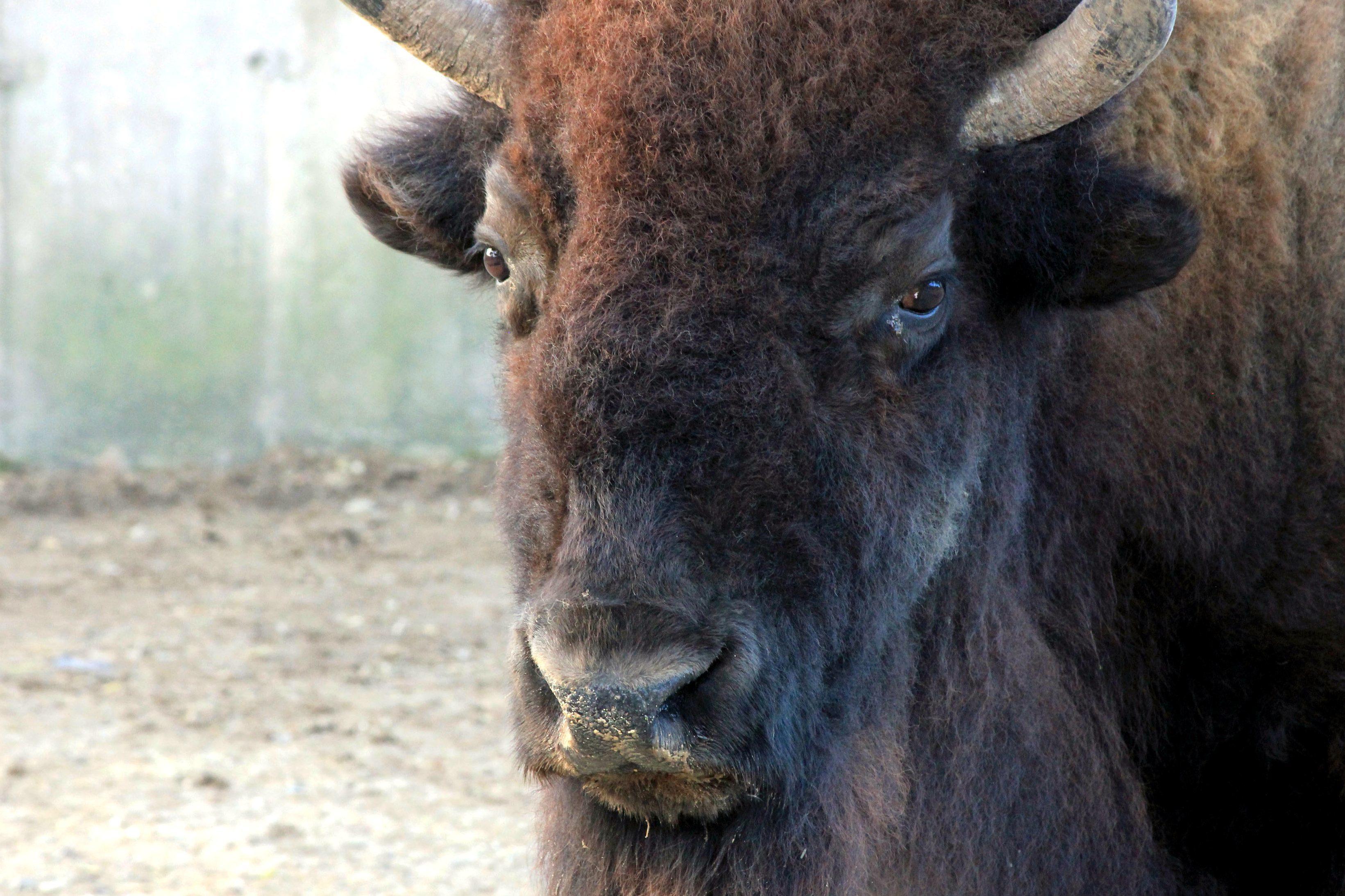 cara, bisonte americano