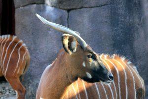 mountain bongo antelope