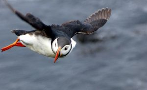 puffin bird, flight