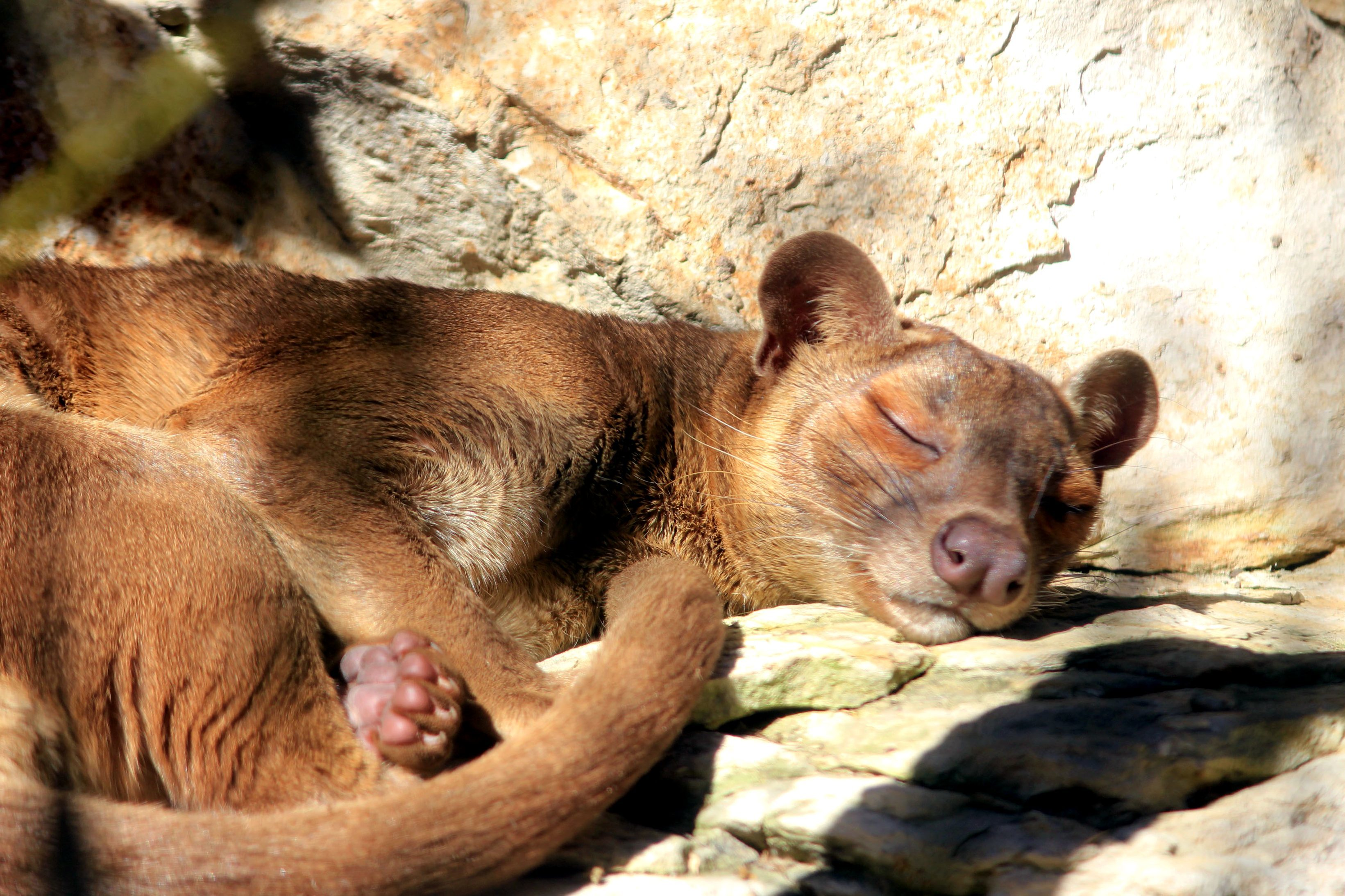 free picture sleeping fossa animal