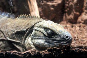 Jamaican iguana, lizard