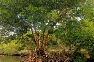 mangrov ağaç