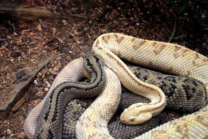 northwestern snake, neotropical rattlesnake