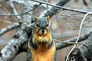 σκίουρο, τρώγοντας καρύδι