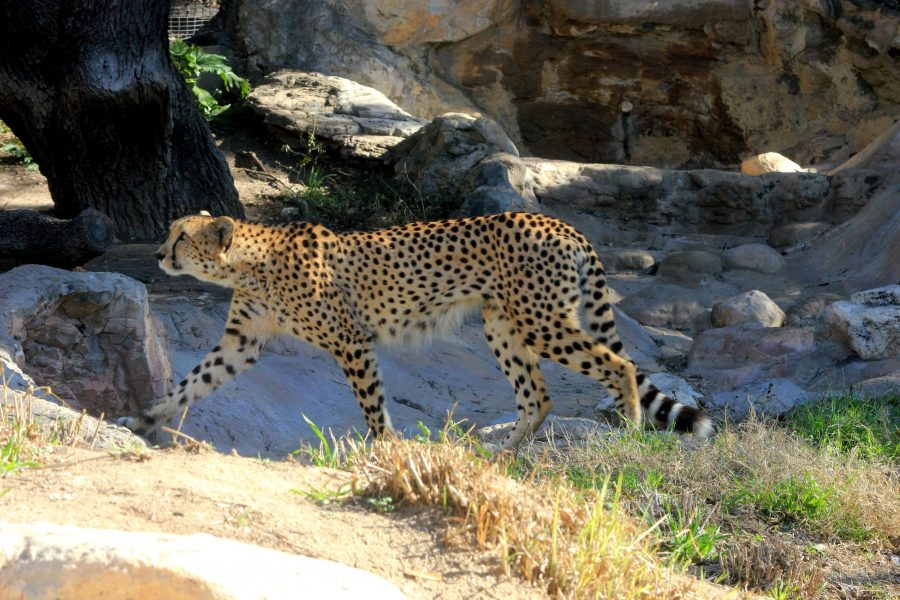 cheetah animal, Africa